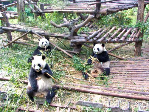 Pandas Munching Bamboo At Chengdu