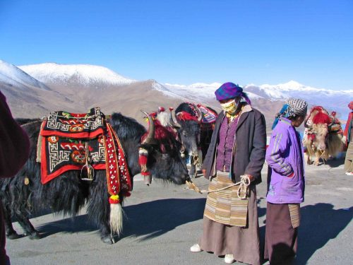 A Black and A White Yak at 4,900 Metres Above Sea Level
