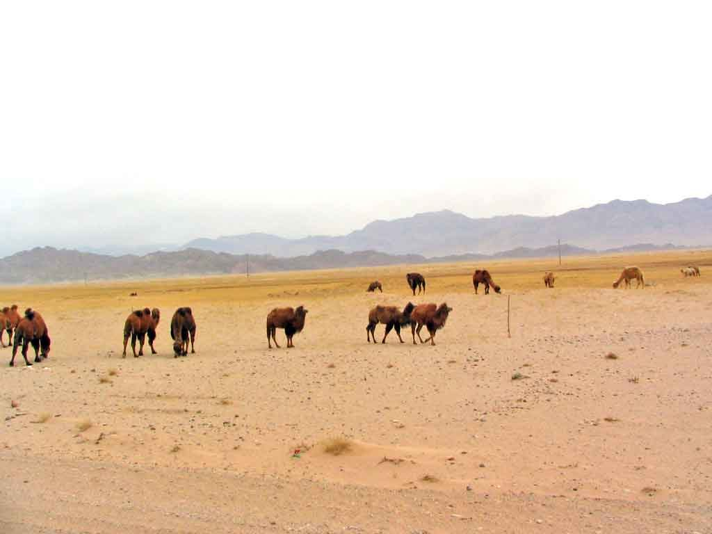 Dromedery Camels On the Road From Golmud To Dunhuang